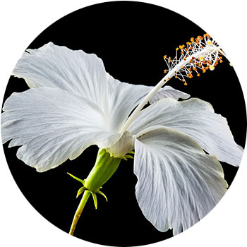 گل هیبیسوس ( هیبیسوس رز – سینسینس )
