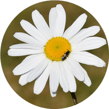 گل مروارید ( آستراکی )