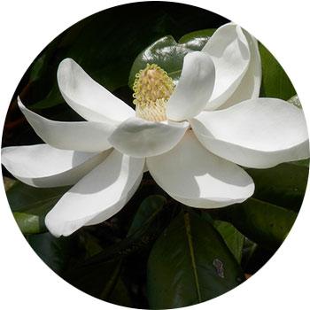 گل ماگنولیا ( ماگنولیا گراندیفلورا )