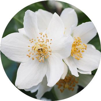 گل یاسمن ( جسمینیوم )