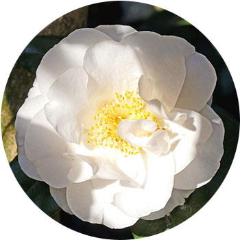 گل کاملیا( تکا )