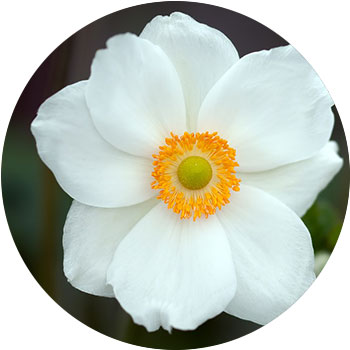 گل لاله ی نعمان ( آنمون نمورسا )