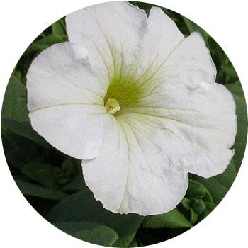 گل اطلسی ( اطلسی پیوندی )