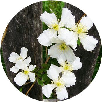 گل شقایق پیچ