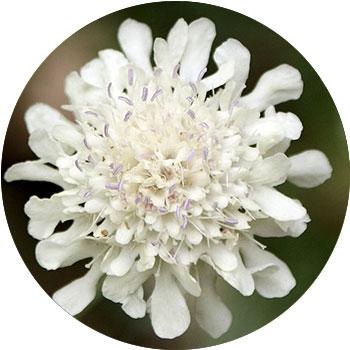 گل اسکابیوسا