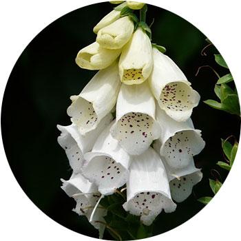 گل انگشتانه ( دیجیتالیس پورپوری )