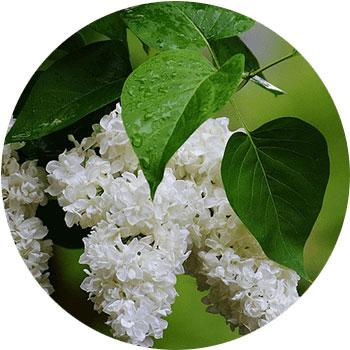 گل یاس لیلاک ( سیرینجا ولگاریس )