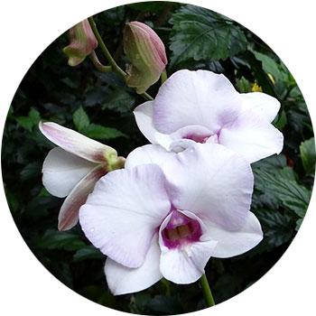 گل ارکیده ی دندروبیوم
