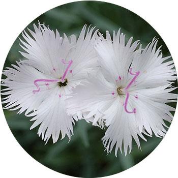 گل دیانتوس