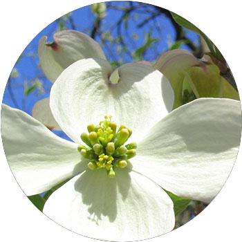 گل سرخک ( کرنوس فلوریدا )