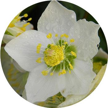 گل خزبق سفید