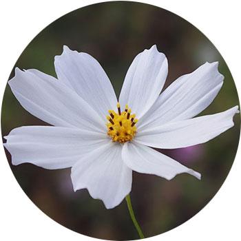 گل کازمو