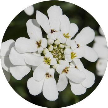 گل کندی تورف( ایبریس پروتی )