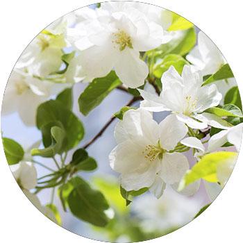 گل بگونیا