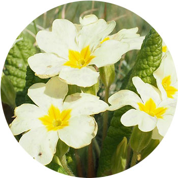 گل پامچال ( اونترا )