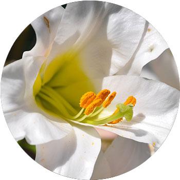 گل نیلوفر ( لیلیوم )