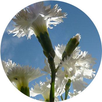 گل میخک صد پر ( کاریوفیلوس )