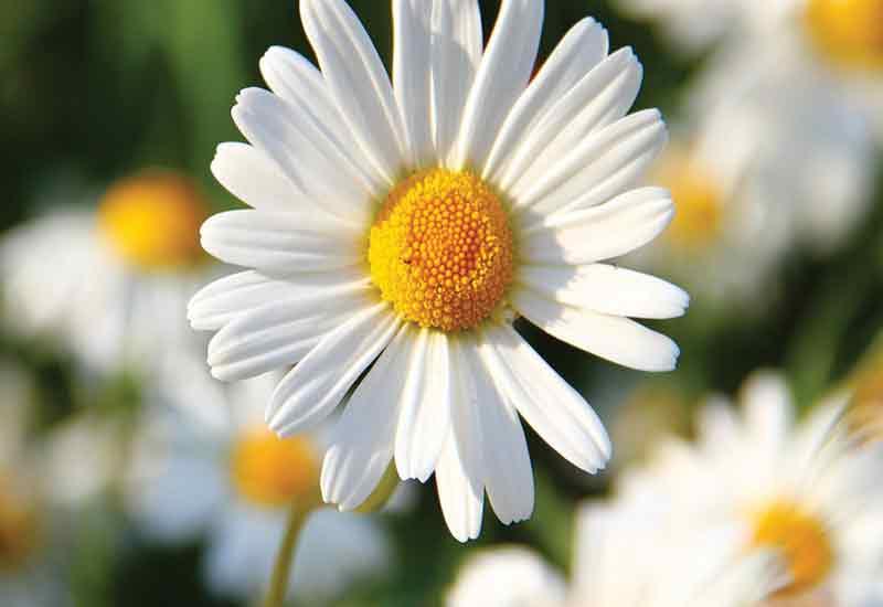 48 نوع از انواع گل های سفید