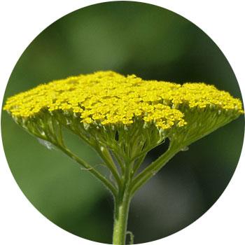 انواع گل زرد