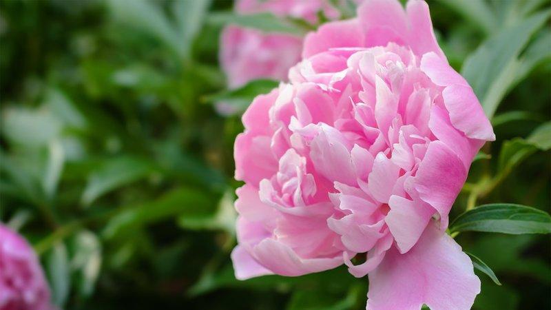 گل صد تومنی یا پیونی ( Peony )