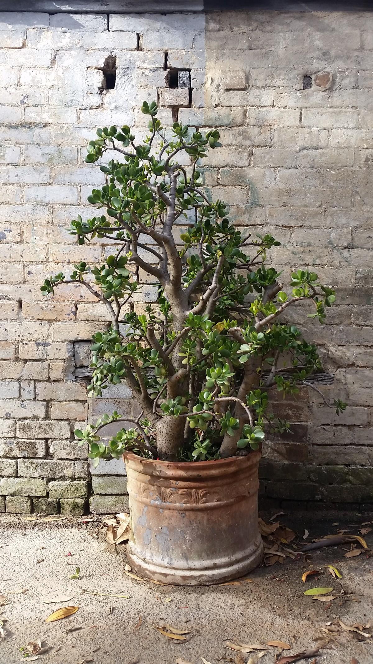 بونسای درخت پول