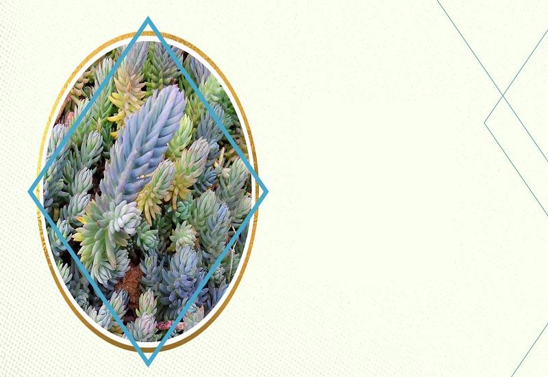معرفی 11 نوع ساکولنت رنگی