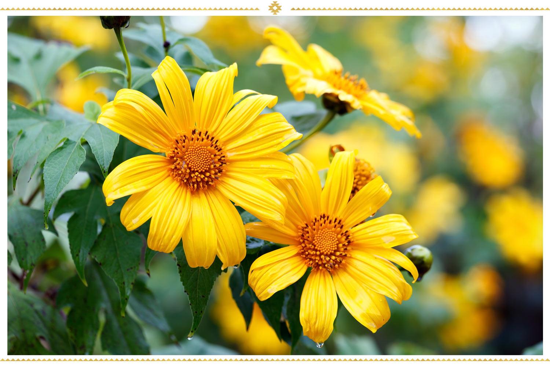 گل مکزیکی