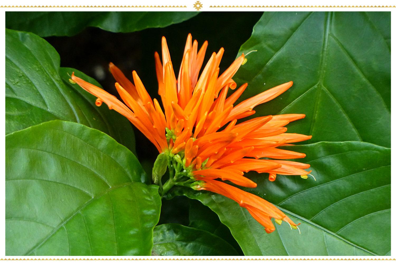 گل های مکزیکی