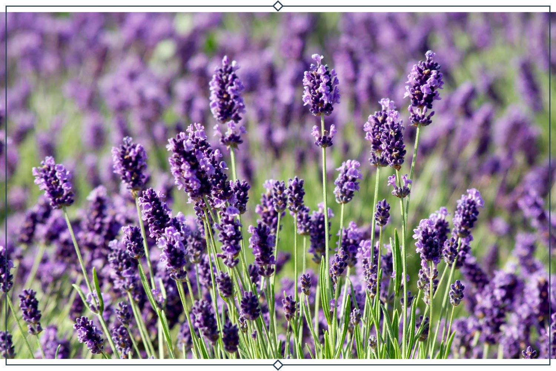 Impress Purple، دورگه (Lavandula * Intermedia)
