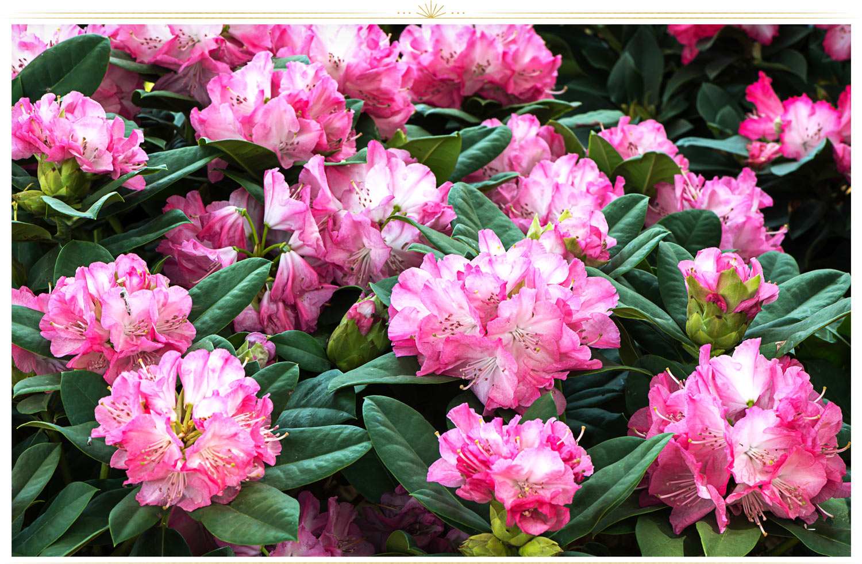 ۱. آزاله (Rhododendron)