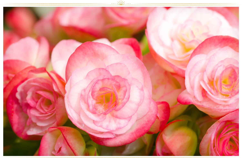 ۲. بگونیا (begonia)