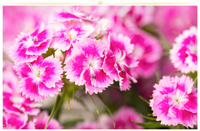 میخک صد پر (Dianthus caryophyllus)