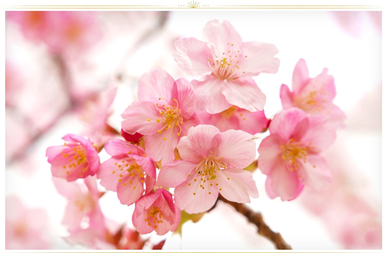 شکوفه گیلاس (Prunus)