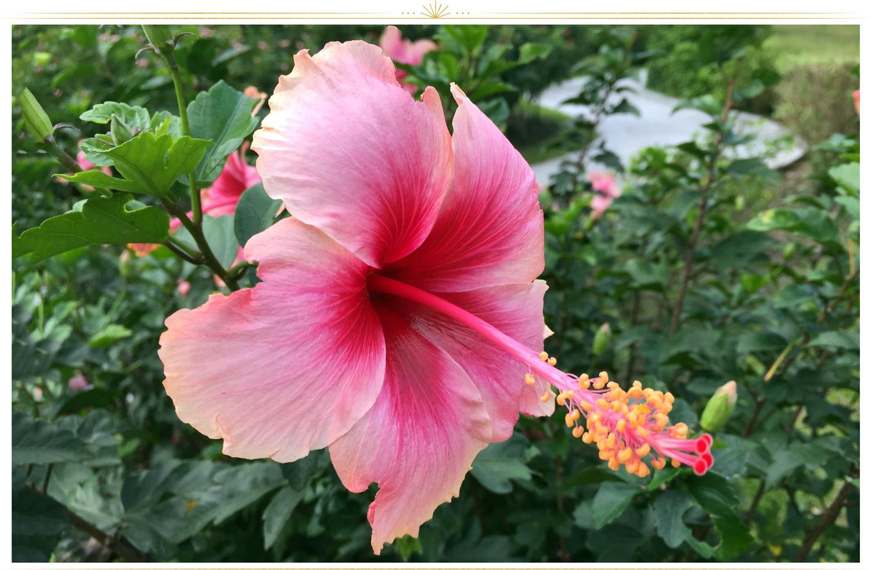 چای ترش (Hibiscus rosa-sinensis)