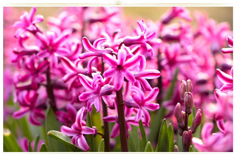 گل سنبل (Hyacinthus)