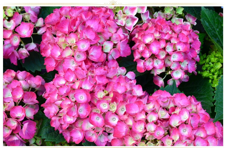 گل ادریسی (hydrangea macrophylla)