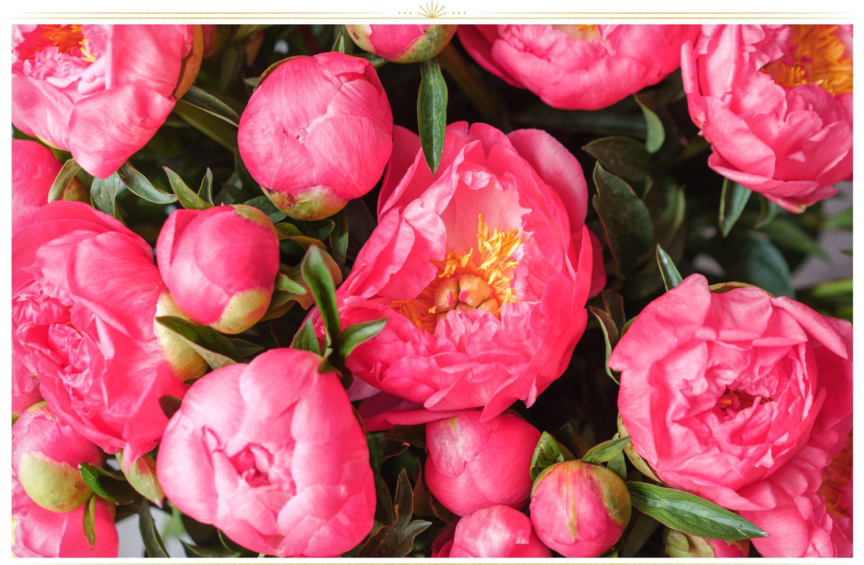 گل صد تومانی صورتی