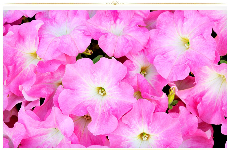 گل اطلسی صورتی