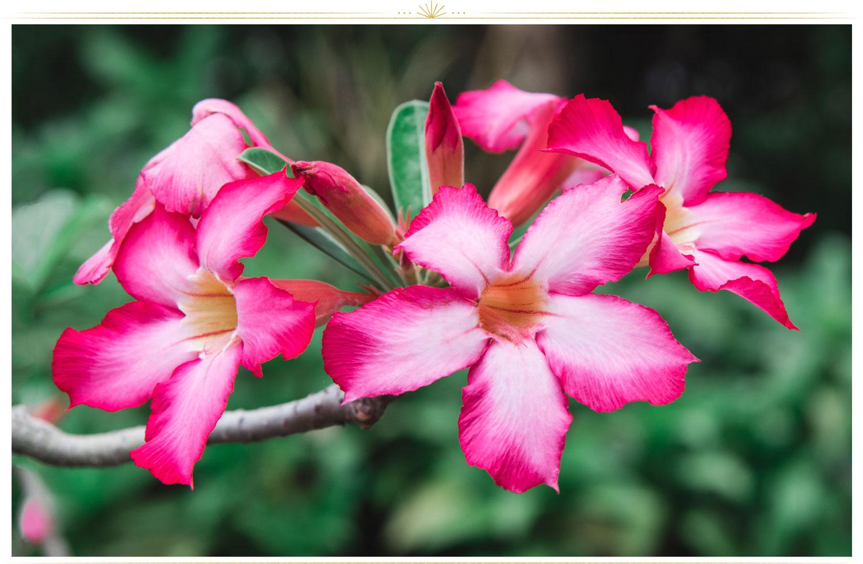 گل صورتی ماندویلا