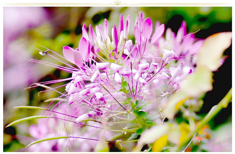 گل صورتی سوسن عنکبوتی