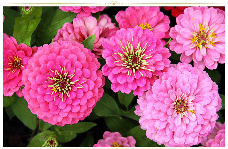 گل آهاری صورتی